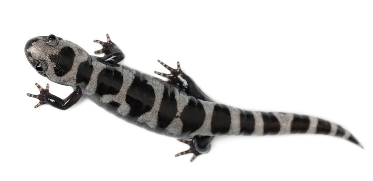 High angle view of Marbled Salamander, Ambystoma opacum
