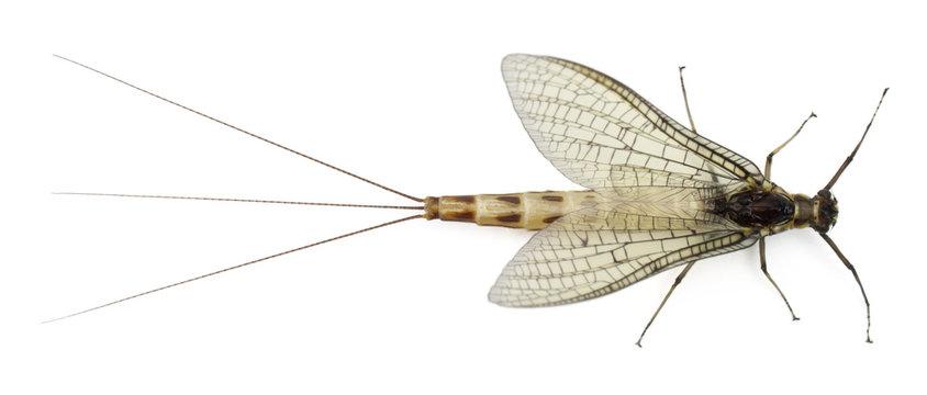 High angle view of Mayfly, Ephemera danica
