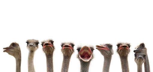funny ostriches
