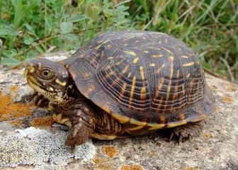 Baby Ornate Box Turtle, Terrepene ornata