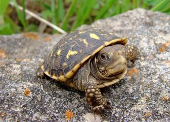 Baby (neonate) Ornate Box Turtle, Terrepene ornata