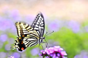 蝴蝶,凤蝶,