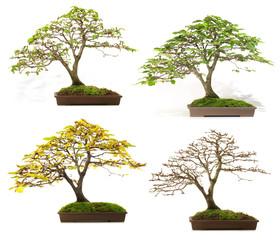 Bonsai - Vier Jahreszeiten