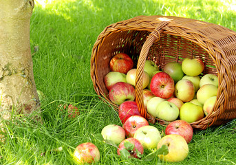 Äpfel im Gras