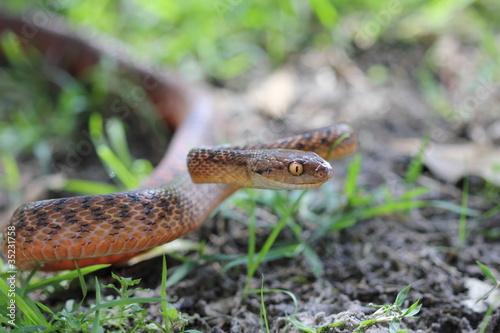 hawaii brown snakes - 1000×667