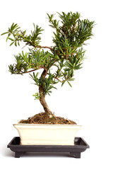 Bonsai - freshly bought, in need of training