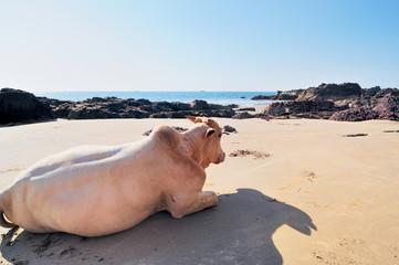 Cow on seashore