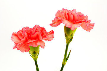 Pink Carnation Isolated on white background