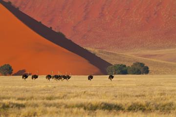 Strausse in der Namibwüste (struthio camelus)