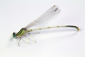 a dragonfly on a white background