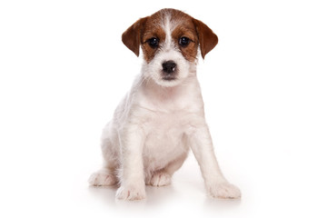 Jack Russell and  puppy on white