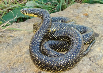 Large snake-eating Kingsnake, Lampropeltis getula holbrooki