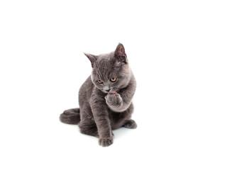 British cat isolated
