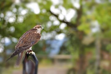 Falcon (falco cherrug)