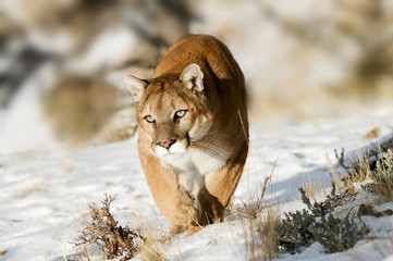 Acrylic Prints Puma Mountain Lion