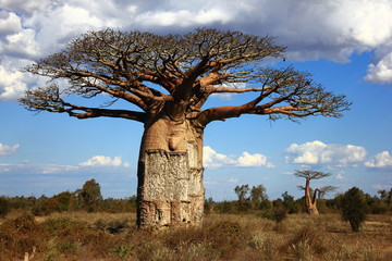 Door stickers Baobab big baobab tree of Madagascar