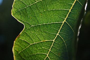 fig tree leaf closeup