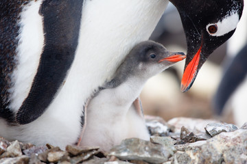 Poster de jardin Antarctique penguins nest
