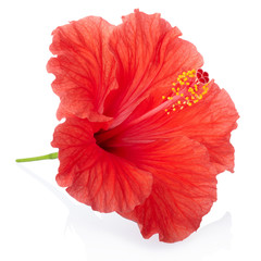 Red hibiscus flower isolated, clipping path included