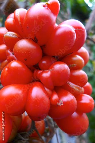 alte tomatensorten stockfotos und lizenzfreie bilder auf bild 35422530. Black Bedroom Furniture Sets. Home Design Ideas