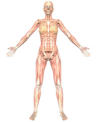 Female Muscular Anatomy Semi Transparent  Front View