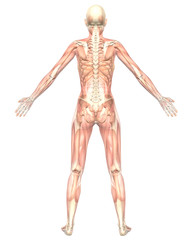 Female Muscular Anatomy Semi Transparent Rear View