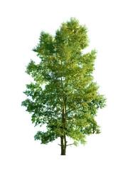 Poplar tree in isolation