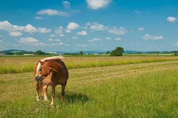 Kasztanowy koń pasący się na zielonej łące - fototapety na wymiar