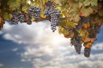 Beautiful Lush Grape Vineyard
