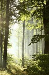 Keuken foto achterwand Bos in mist Sunlight enters deciduous forest on a misty morning after rain
