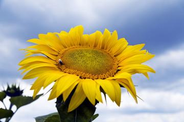 sunflower growing on farmer field in the late summer