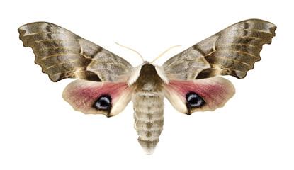 One-eyed sphinx, Smerinthus cerisyi isolated on white