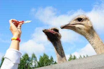 Tourist feeding an ostrich