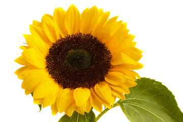 bight sunflowers