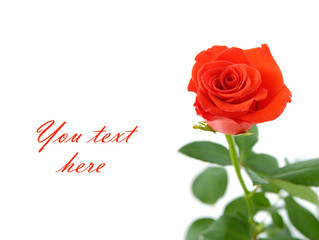 Red rose with space for text