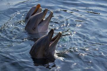 Photo sur Aluminium Dauphins Bottlenose dolphins or Tursiops truncatus