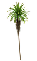 Mountain Cabbage palm tree isolated on white background