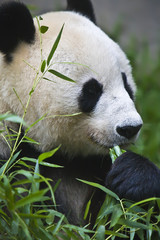 Giant panda bear from China