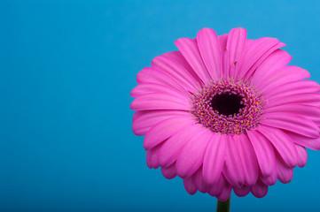 Różowa gerbera na niebieskim tle