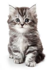 Grey kitten isolated on white