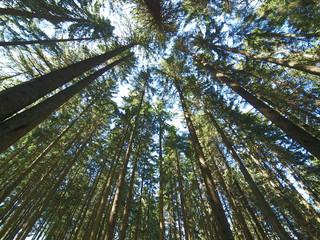 Tuinposter Aan het plafond pine forest trees