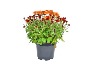 Chrysanthemum flowers sprout in pot, isolated on a white