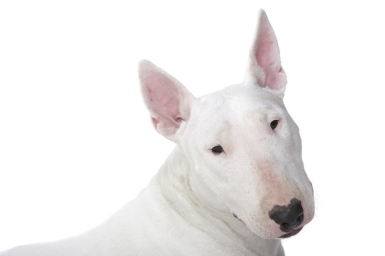 expression typique du bull terrier