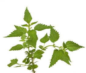 Stinging or common nettle, Urtica dioica, isolated on whi