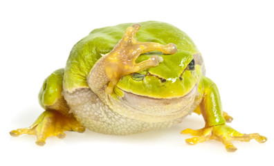 Wall Mural - one tree frog isolated on white background