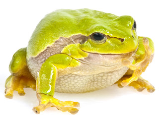 Wall Mural - tree frog  on white background