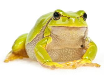 Fototapete - green tree frog