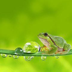 Wall Mural - tree frog on leaf with dew drops