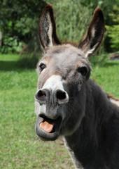 Foto auf Acrylglas Esel Esel