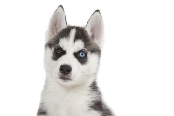 étrange regard aux yeux vairons du chiot husky